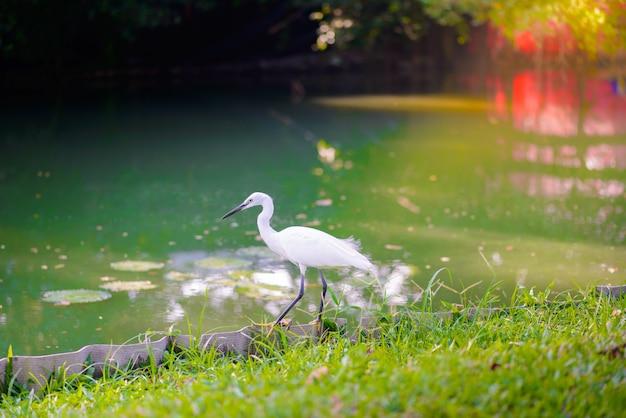 Egret cazando peces