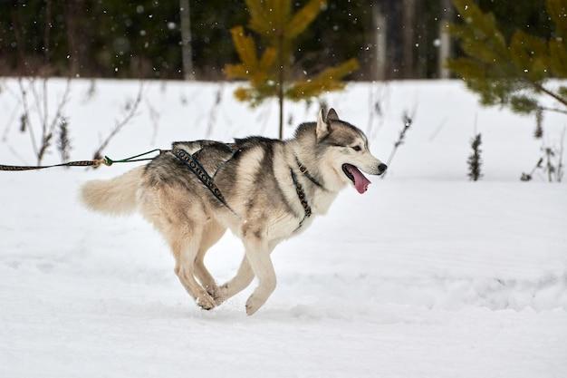 Ejecutando carreras de perros husky