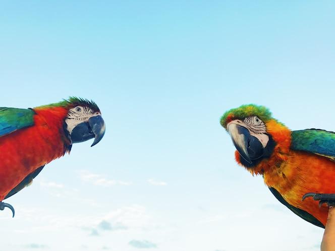 El hombre sostiene dos loros coloridos del macaw en su brazo