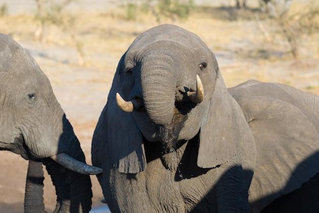 Elefante africano joven bebiendo del abrevadero.