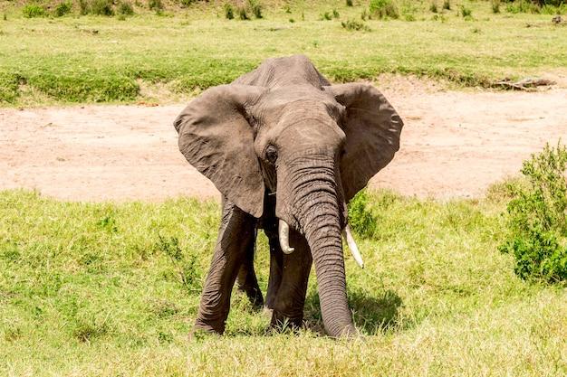 Elefante africano en el parque nacional de masai mara. kenia, áfrica.