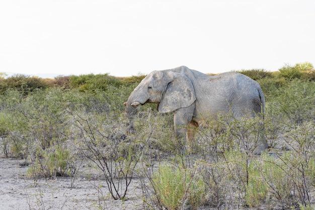 Elefante africano que come el árbol de acacia en el parque nacional de etosha, namibia.