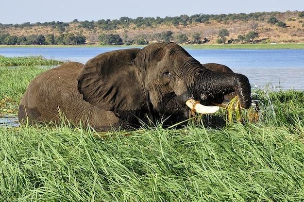 Elefante agua del río chobe caña