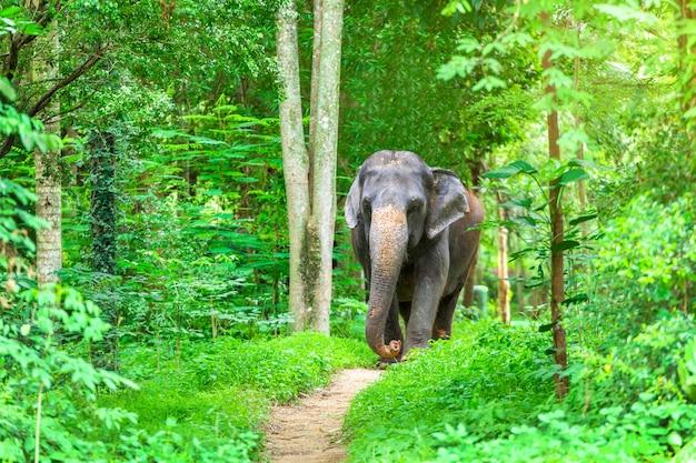 Elefante asiático en la naturaleza