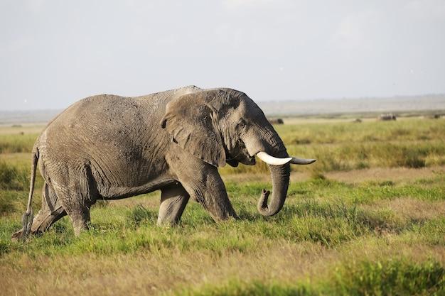 Elefante caminando sobre un campo verde en el parque nacional de amboseli, kenia