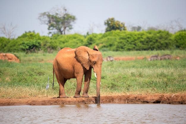 Un elefante rojo está bebiendo agua en el abrevadero