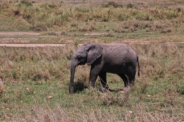Elefante en safari en kenia y tanzania, áfrica