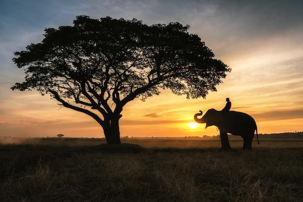 Elefante tailandés en la provincia de surin, tailandia.