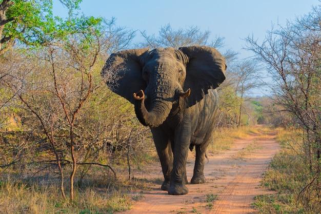 Elefantes africanos en un safari por sudáfrica en el parque nacional kruger
