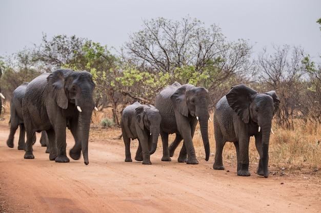 Elefantes caminando por una carretera. sudáfrica.