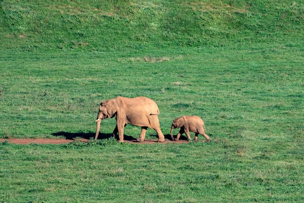 Elefantes increíbles en el prado