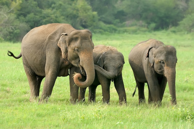 Elefantes en el parque nacional de sri lanka