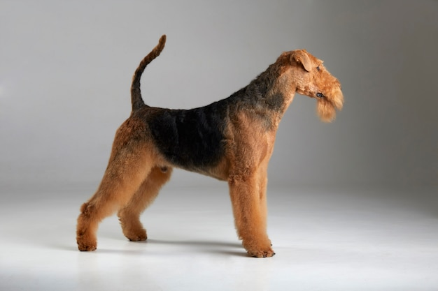 Elegante airedale terrier