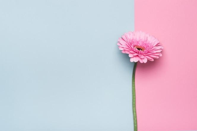 Elegante flor de gerbera con copyspace