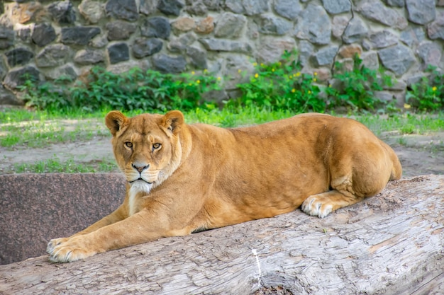 La elegante leona vive en un pintoresco zoológico.