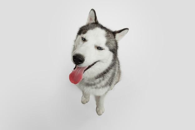 Encantador. perro de compañía husky está planteando. lindo perrito gris blanco juguetón o mascota jugando sobre fondo blanco de estudio. concepto de movimiento, acción, movimiento, amor de mascotas. parece feliz, encantado, divertido.