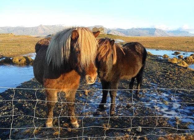 Encantadora madre y bebé caballos islandeses, sur de islandia