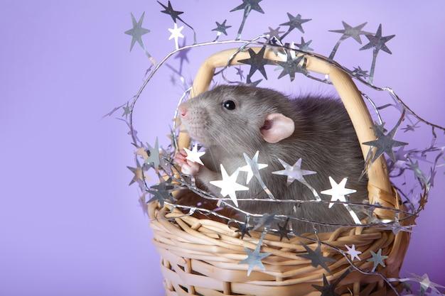 Encantadora rata dumbo en una canasta de mimbre