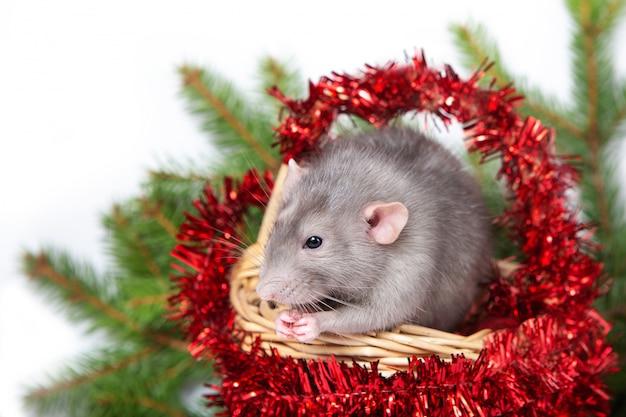 Encantadora rata dumbo en una cesta con adornos navideños. 2020 año de la rata. año nuevo chino.