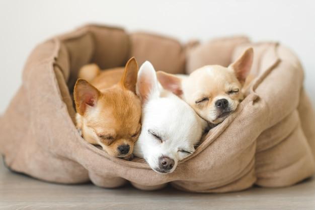 Encantadores, lindos y hermosos cachorros de chihuahua domésticos amigos acostados, relajándose en la cama del perro