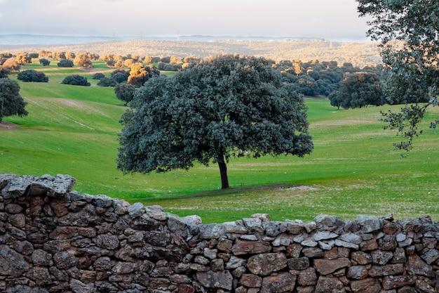 Encina en el campo verde detrás de la pared de piedra