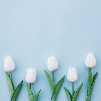 Endecha plana de tulipanes blancos sobre fondo azul con espacio de copia