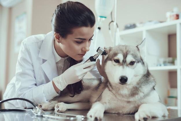 Enfermera pretty girl en bata de laboratorio comprobación de orejas de perro.