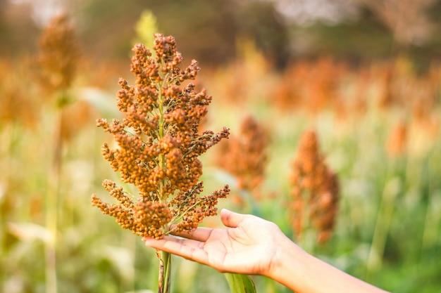 Enfoque mano sosteniendo el árbol de mijo en el campo ancho