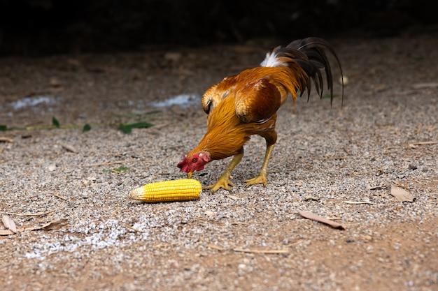 Enfoque selectivo en la cabeza de un gallo que come granos de maíz derramados en el suelo.