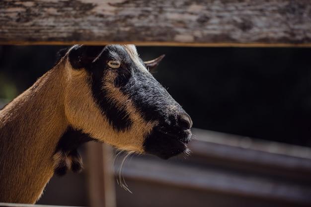 Enfoque selectivo de una cabra