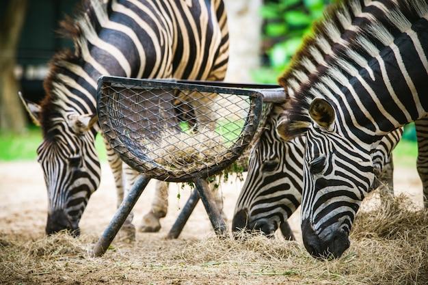 Enfoque selectivo cebra eatting un pasto