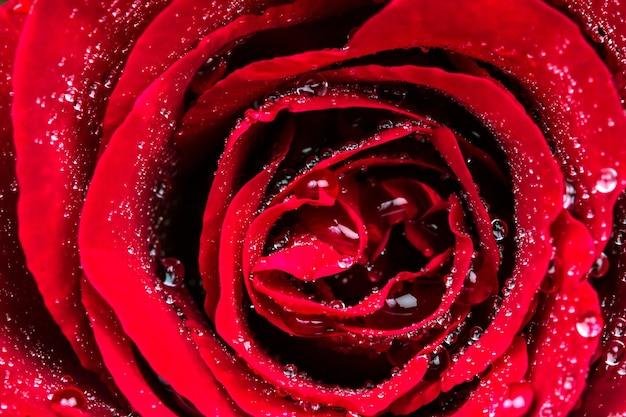 Enfoque selectivo de flor rosa de cerca con gotas