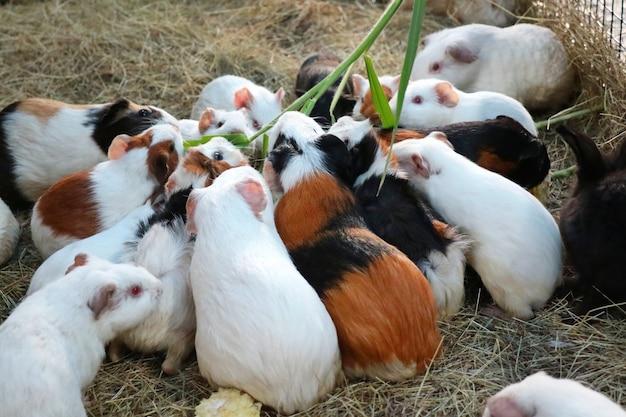 Enfoque selectivo del grupo de lindos conejillos de indias comiendo hierba en la granja. concepto animal