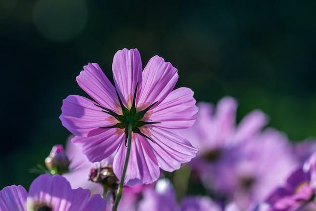 Enfoque selectivo hermosa flor rosa cosmos que florece en un jardín.