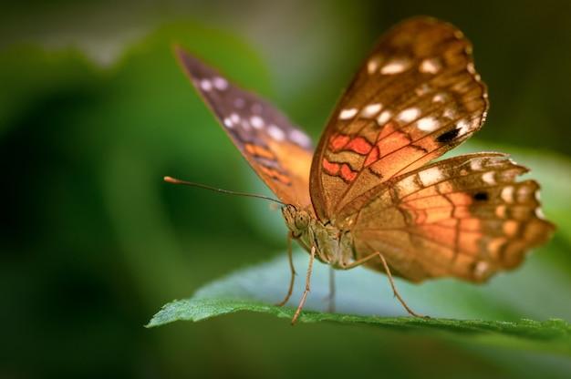 Enfoque selectivo de una mariposa speyeria en una hoja bajo la luz del sol con una borrosa