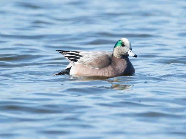 Enfoque selectivo de pato wigeon americano (mareca americana) flotando en el agua