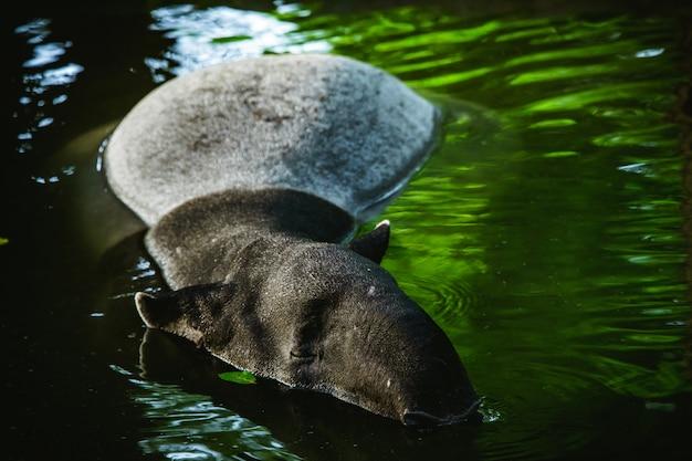 Enfoque selectivo tapir nadando en el agua