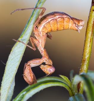 Enfoque selectivo vertical closeup de mantis mediterránea en su entorno natural