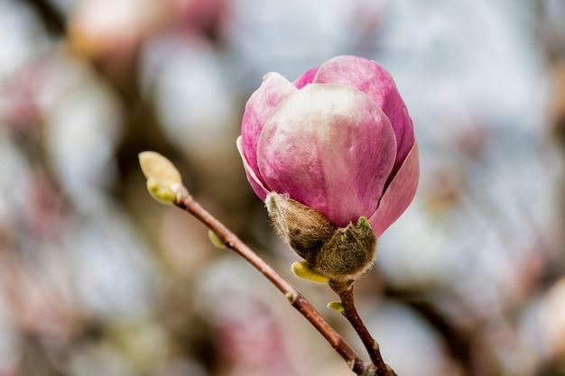 Enfoque suave de un capullo de magnolia rosa en un árbol
