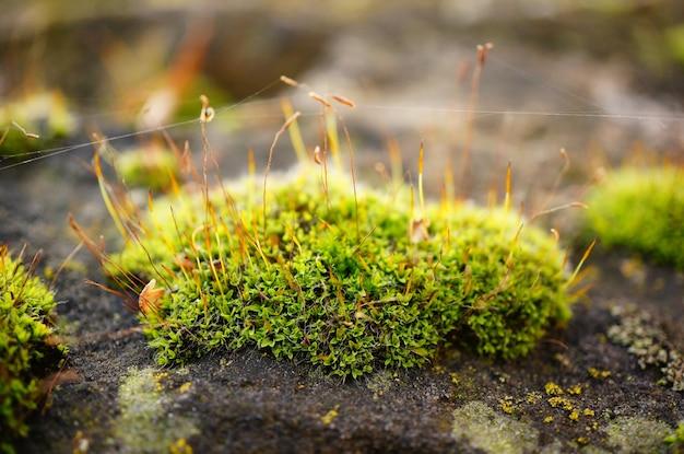 Enfoque suave de un parche de musgo con cuerdas de web, sobre una roca