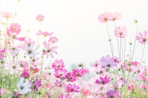 Enfoque suave y selectivo del cosmos, flor borrosa para el fondo, plantas coloridas