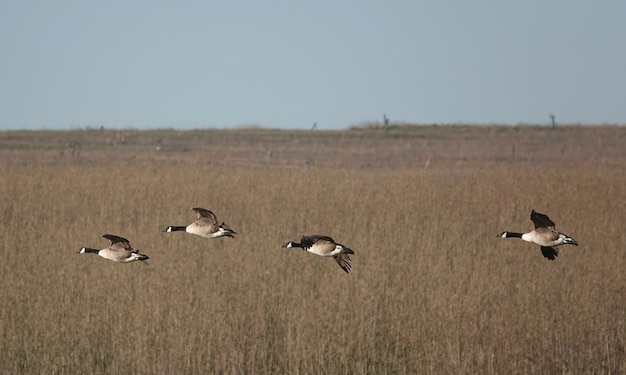 Enfoque superficial de gansos volando sobre un campo en un día sombrío