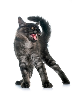 Enojado maine coon gatito