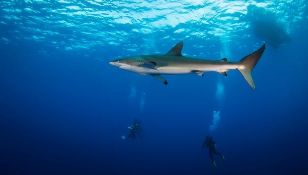 Enorme tiburón blanco en el océano azul nada bajo el agua