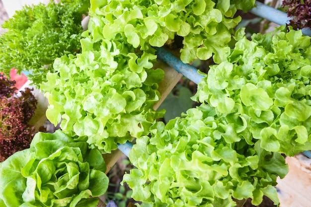 Ensalada de cultivo hidropónico plantas vegetales ensalada de lechuga roble verde