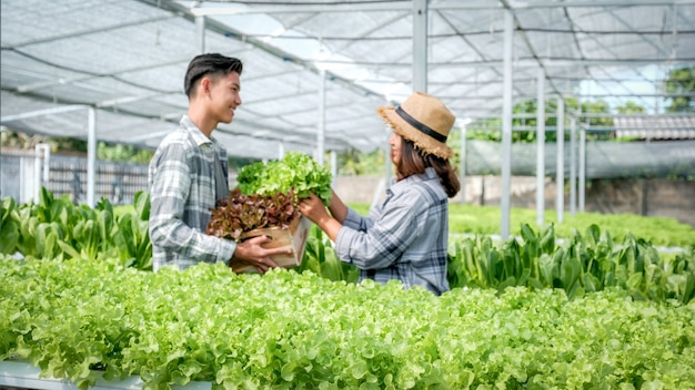 Ensalada de hortalizas, agricultor cosechando lechuga orgánica de granja hidropónica