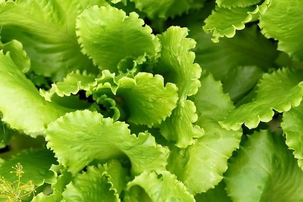 Ensalada de plantas verdes hojas que crecen en el fondo del jardín
