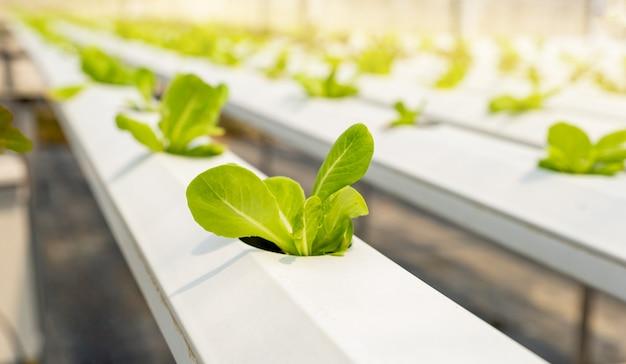 Ensalada de verduras en la granja del jardín hidropónico, cultivo de agricultura orgánica saludable.