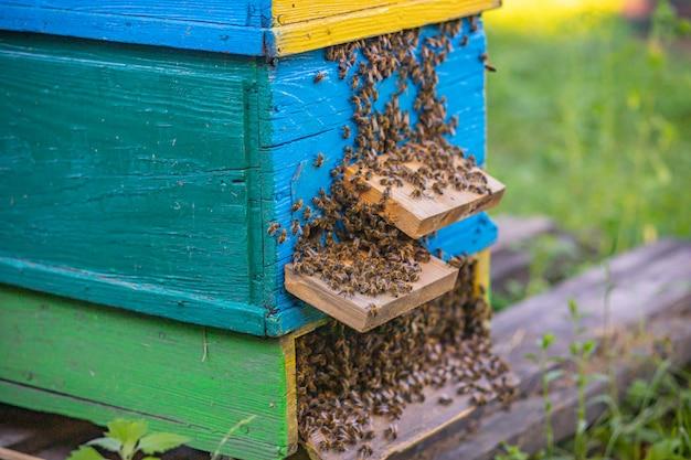 De la entrada de la colmena se arrastran las abejas. la colonia de abejas melíferas protege a la colmena del saqueo de la melaza.
