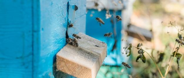 De la entrada de la colmena se arrastran las abejas. la colonia de abejas de miel protege a la colmena azul del saqueo de la melaza.